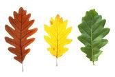 Kleurrijke eikenbladeren — Stockfoto