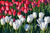 White and red tulips on the city flower bed — Stock Photo