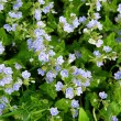 Blue small flowers — Stock Photo