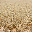 Field of ripe barley — Stockfoto