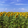 Beautiful sunflower field in sunny summer — Stock Photo