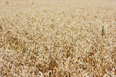 Field of ripe barley — Stock Photo
