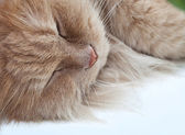 Lazy sleeping persian cat — Stock Photo
