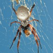 Stock Photo: Golden Orb Spider