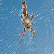 Orb Spider — Stock Photo