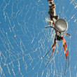 Golden Orb Spider — Stock Photo