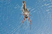Orb Spider — Stock Photo