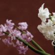 White and pink hyacinths — Stock Photo