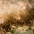 Dry weeds — Stock Photo