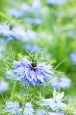 Dark-blue flower — Stock Photo
