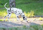 Dalmatien — Photo