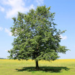 Stock Photo: Lonely linden