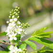 Blossom apple tree — Foto Stock