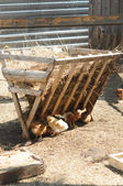 一群牧场提出在地上的饲料鸡啄 — 图库照片