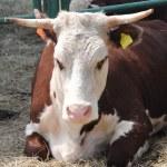 Cow farm — Stock Photo #6265550