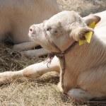 Cow farm — Stock Photo #6265576