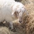 White sheep eating hay - Foto Stock
