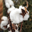 Cotton bud detail - Foto Stock