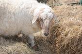 干し草を食べて白い羊 — ストック写真