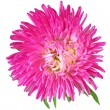 Stock Photo: Single aster flower head isolated on white