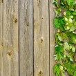 Foto Stock: Old wooden fence and climber plant hop