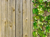 A old wooden fence and a climber plant hop — Stok fotoğraf