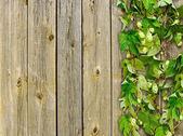 Une vieille clôture en bois et un saut de plante grimpeur — Photo