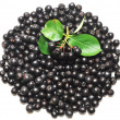 Black chokeberry. Aronia melanocarpa — Stock Photo #6598892