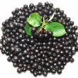 Black chokeberry. Aronia melanocarpa — Stock Photo