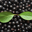 Aronia melanocarpa — Stock Photo #6598914