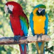Laughing parrots - Stock Photo