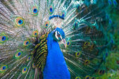 Peacock side view — Stock Photo