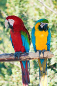 Laughing parrots — Stock Photo