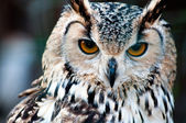 Owl close up portrait — Stock Photo