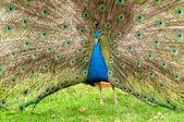 Renkli tavus kuşu — Stok fotoğraf