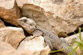 Close-up lizard on a rock — Stock Photo