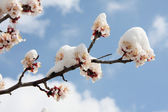 Blossoming tree under snow — Stock Photo
