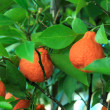 Fresh Orange tree — Foto de Stock