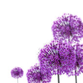 Purple allium flowers — Stock Photo