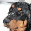 Blinking Howavart puppy covered with snow - Stock Photo