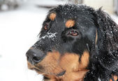 Blinking Howavart puppy covered with snow — Stock Photo