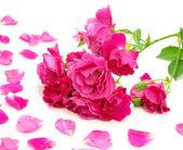 Rose close-up — Stock Photo