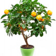Small tangerines tree - Foto Stock