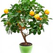 Small tangerines tree — Stock Photo #5965458