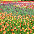 Field with tulips - Stock Photo