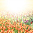 Field with colorful tulips - Foto Stock
