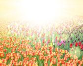Campo con coloridos tulipanes — Foto de Stock