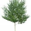 Birch tree. - Stock Photo