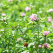 Royalty-Free Stock Photo: The field of clover flowers.