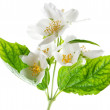 Jasmine flowers. — Stock Photo